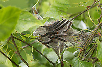 Wollafter, Frühlings-Wollafter, Raupe, Raupen, Raupengespinst an Birke, Birkennestspinner, Eriogaster lanestris, Bombyx lanestris, Small Eggar, caterpillar, caterpillars, bombyx laineux, laineuse du cerisier