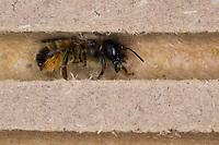 Rote Mauerbiene, Entwicklung, 1: Weibchen an Nisthilfe. Entwicklungsreihe Entwicklungsstadien, Brutröhre, Niströhre im Querschnitt, Brutkammer, Brutkammern, Rostrote Mauerbiene, Mauerbiene, Mauer-Biene, Nest, Neströhre, Niströhren, Wildbienen-Nisthilfe, Wildbienennisthilfe, Osmia bicornis, Osmia rufa, red mason bee, mason bee, L'osmie rousse, Mauerbienen, mason bees