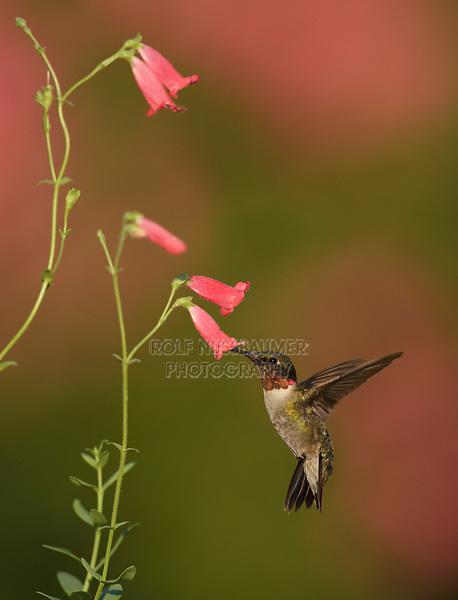 Ruby-throated Hummingbird (Archilochus colubris), male feeding on Rock Penstemon (Penstemon baccharifolius), Hill Country, Central Texas, USA