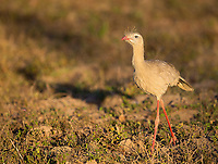 This is Brazil's answer to the Secretary bird.