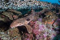 Leopard Epaulette Shark