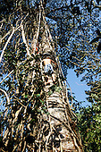 Osa Peninsula, Costa Rica. Corcovado National Park; local boys climbing a huge tree on a trail through the rainforest.