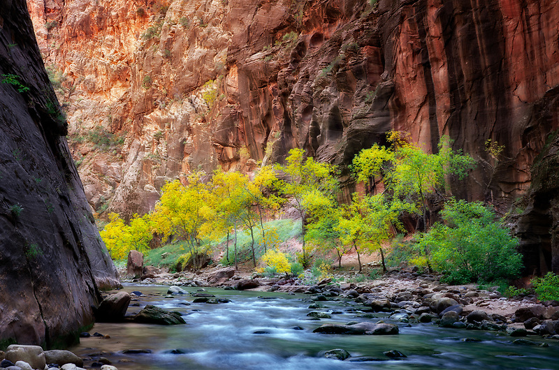 Fall colored trees in Virgin River Canyon. Zion National Park, UTah.