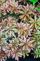 Pieris japonica 'Carnaval' spring foliage variegated Japanese andromeda shrub