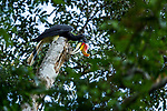 Rhinoceros Hornbill (Buceros rhinoceros) male foraging for insects in decaying tree trunk, Deramakot Forest Reserve, Sabah, Borneo, Malaysia