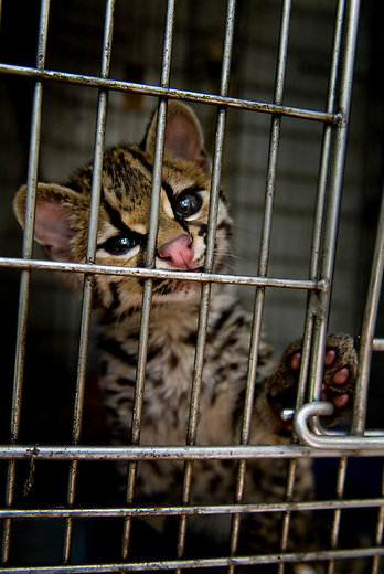 A re captured leopard cub at a animal recovery center on the edge of the Mayan Bioisphere. Poaching is rampent inside the reserve.