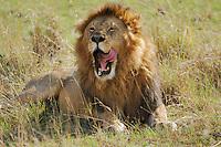 African Lion ((Panthera leo), male yawning, Masai Mara, Kenya, Africa