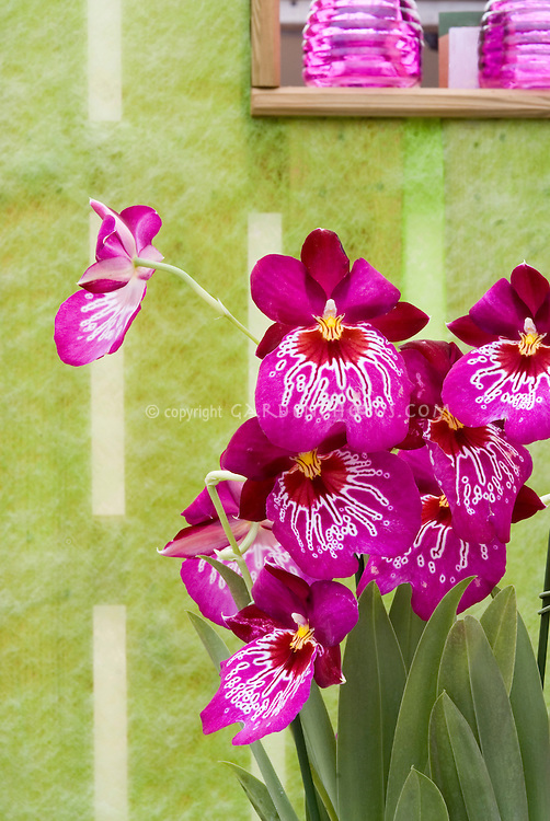 Miltoniopsis Orchid hybrid against pretty wall and window. Miltonia Miltoniopsis Mario van Peebles, waterfall type orchid vivid pink, genus is native to Central and South America. Pansy Orchid. , Miltoniopsis Newton Falls, hybrid
