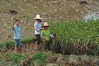Three girls harvesting in a rice paddy, Yangshuo, Guangxi, China.