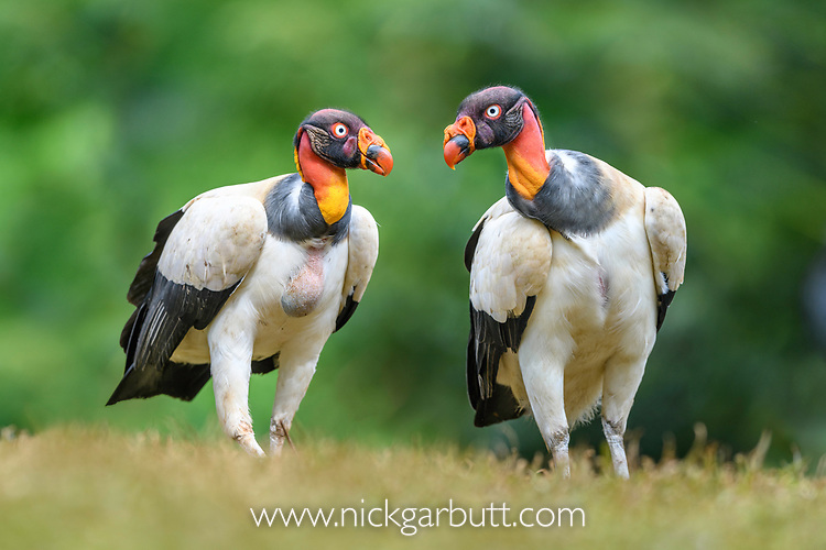 Adult king vultures (Sarcoramphus papa). Laguna de Lagarto, Boca Tapada, north east Costa Rica (baited and photographed from a hide).