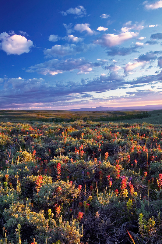 Indian Paintbrush wildflowers and sagebrush at Steens Mountain, Oregon