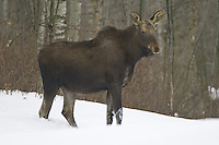 Moose standing in a snowy clearing in front of a forest