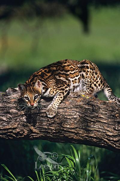 Ocelot (Leopardus pardalis) Central America.