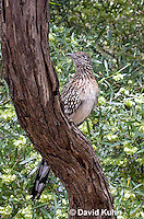 0610-1103  Greater Roadrunner (Chaparral Cock or Ground Cuckoo), Geococcyx californianus  © David Kuhn/Dwight Kuhn Photography