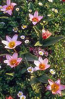 Tulipa greigii (Tulip) in spring garden