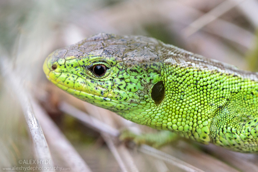 Sand Lizard (Lacerta agilis) Male on dune system at Ainsdale Nature Reserve, Merseyside, UK. April. Photographed under licence. Photographer: Alex Hyde