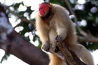 """Conhecido como """"ZÈ """" , o Uacari vermelho, morador Mamirau· no Amazonas, foi criado por pesquisadores desde filhote, agora adulto volta todos os dias no fim da tarde para receber comida dos moradores da reserva.<br /> A espÈcie difere de todas as outras formas de Cacajao por possuir uma pelagem em tom vermelho-escuro ou laranja-avermelhado em todo o corpo, exceto no manto (nuca e uma pequena parte das costas), que tem, em contraste, coloraÁ""""o camurÁa ou acinzentada.<br /> … um t·xon pertencente ‡ famÌlia Pitheciidae. A distribuiÁ""""o geogr·fica È mal conhecida. Existem apenas sete pontos de registro empÌrico para o t·xon. Apesar de terem sido parcialmente confirmadas por dois espÈcimes da coleÁ""""o do Museu de Zoologia da Universidade de S""""o Paulo, identificados por JosÈ M·rcio Ayres (BuiuÁu, margem noroeste do canal Auati-Paran·), tais hipÛteses ainda carecem de verificaÁ""""o mais acurada, a partir de um levantamento sobre ocorrÍncias em toda a regi""""o.<br /> <br /> Uacari-Branco, acari, macaco-inglÍs ou simplesmente uacari (nome cientÌfico: Cacajao calvus) È um macaco do Novo Mundo do gÈnero Cacajao, e famÌlia Pitheciidae encontrado originariamente na AmazÙnia brasileira.<br /> <br /> A pelagem È laranja-p·lido, amarelada, acinzentada ou esbranquiÁada. As superfÌcies ventrais s""""o alaranjadas ou amareladas, assim como a cauda. A barba È avermelhada, tornando-se mais escura distalmente. A face, as orelhas e a genit·lia s""""o desprovidas de pelos, sendo a face e as orelhas pouco pigmentadas, mosqueadas ou despigmentadas e a genit·lia enegrecida.<br /> Se alimenta de frutos, insetos, sementes, nÈctar e brotos de plantas. Os machos pesam 3,5 kg, e as fÍmeas, 2,7 kg. Eles habitam as florestas de terra firme e de v·rzea do norte da AmazÙnia. Os machos atingem a maturidade sexual por volta dos 66 meses e as fÍmeas aos 43 meses.Outra caracterÌstica importante È que eles adoram pular de galho em galho como os outros macacos.<br /> Tefe, Amazonas, Brasil.<br /> Foto Paulo Santo"""