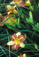Bicolored blooms of daylily Cathy's Sunset Hemerocallis