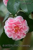 Gisela, FLOWERS, BLUMEN, FLORES, photos+++++,DTGK2309,#F#, EVERYDAY
