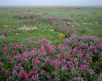 Field of Milkvetch (Astragalus sp.) on the grasslands in astern Colorado; Lincoln County, CO