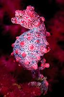 Pregnant pygmy seahorse, Hippocampus bargibanti, Komodo National Park, Nusa Tenggara, Indonesia, Pacific Ocean