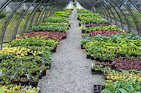 Shade perennials in a nursery