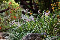 Pacific Iris flowering by rocks in Kyte California native plant garden by dark branches of manzanita