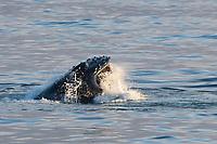humpback whale, Megaptera novaeangliae, lunge feeding on capelin, Mallotus villosus, in calm sea, Edgeoya, Svalbard, Norway, Arctic Ocean