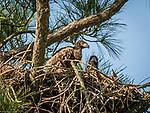 2 Eaglet in nest.