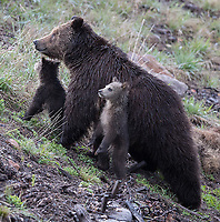 Sometimes it's impossible to avoid seeing man-made elements in the frame. These bears were hanging out in an area where the landscape was being restored following road construction, so there were a lot of stakes and sandbags strewn about.