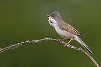 Dorngrasmücke, singend, Dorn-Grasmücke, Grasmücke, Sylvia communis, Whitethroat, Fauvette grisette
