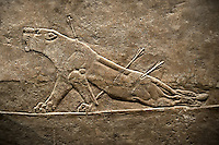 Assyrian relief sculpture panel from the  lion hunt showing a dying lion.  From Nineveh  North Palace, Iraq,  668-627 B.C.  British Museum Assyrian  Archaeological exhibit no ME 124856