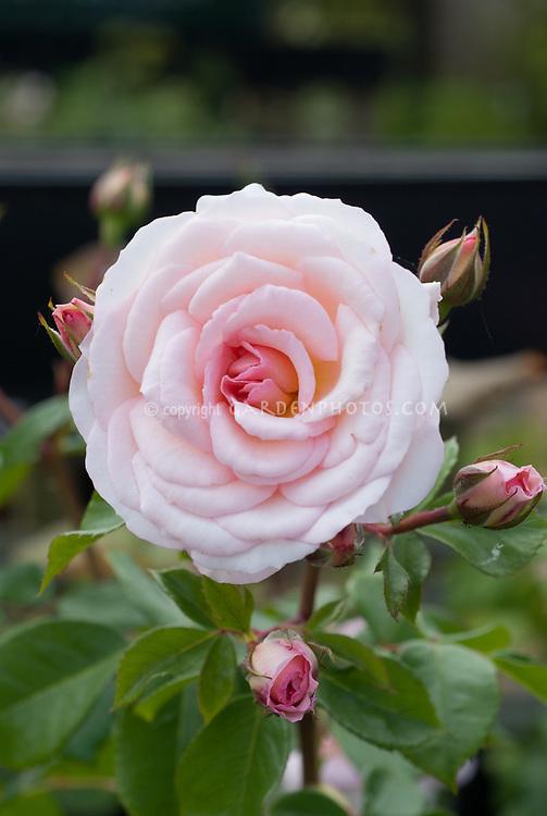 Floribunda rose, Rosa 'Pearl' pink rose in flower and bud