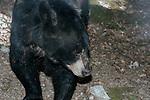American black bear walking towards camera looking right, medium shot.