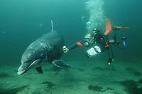scuba diver and bottlenose dolphin, Tursiops truncatus,