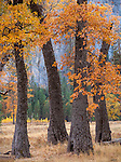 Yosemite National Park, CA: Black oaks (Quercus kelloggii) in El Capitan Meadow in fall, Yosemite Valley