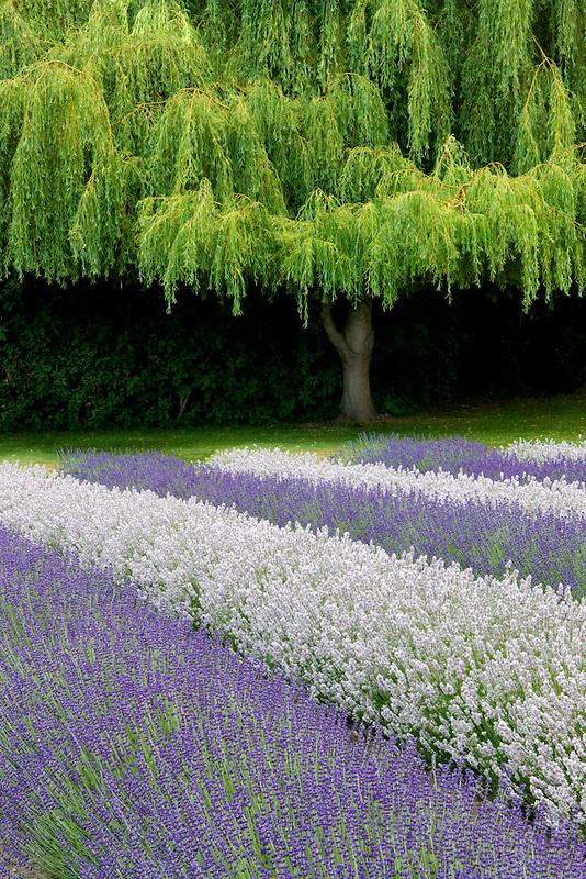 Rows of lavendar and weeping willow tree. Purple Haze Lavender Farm. Washington