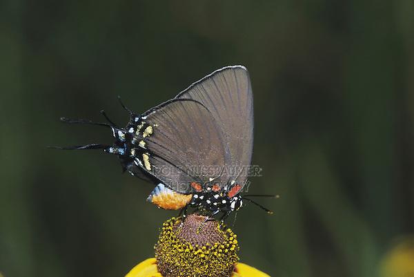 Great Purple Hairstreak (Atlides halesus), adult on flower, Starr County, Rio Grande Valley, Texas, USA