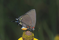 Great Purple Hairstreak (Atlides halesus), adult on flower, Starr County, Rio Grande Valley, Texas, USA