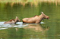 American Moose (Alces alces americana), mother with calf walking in water, Alaska, USA, North America