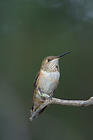 Rufous Hummingbird, Selasphorus rufus, young male, Paradise, Chiricahua Mountains, Arizona, USA, August 2005