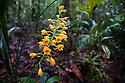 Yellow terrestrial orchid (Orchidaceae, (unidentifed species) Maliau Basin, Sabah's 'Lost World, Borneo, Malaysia.