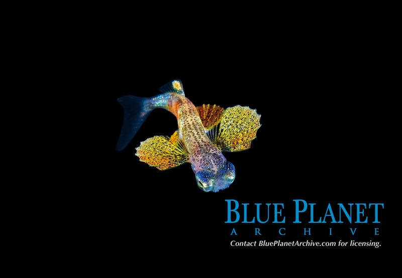 unidentified Flying fish, Exocoetidae. Black water dive near the surface off Palm Beach, Florida, U.S.A   Atlantic Ocean