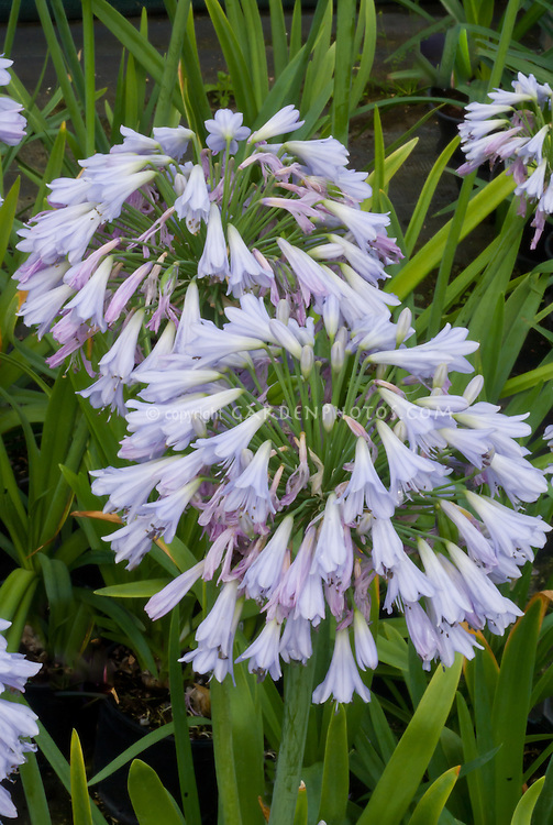 Agapanthus 'Blue Moon' flowers, Lily of the Nile summer bulb, clusters of flowerheads
