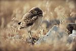 Burrowing owlet, Eastern Oregon