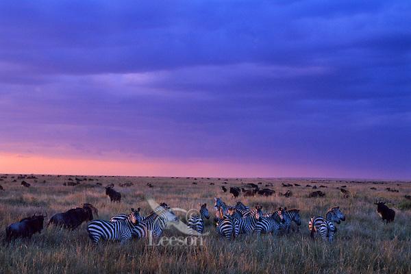 Herd of plains zebra and wildebeest on the Serengeti Plains, Serengeti National Park, Tanzania.  Sunset.