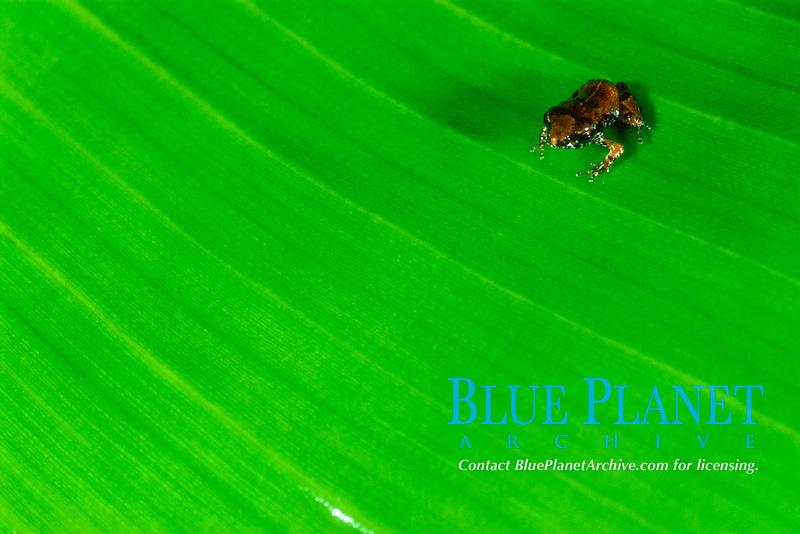 Tree Frog, Eleutherodactylus johnstonei, on leaf, Saba, Netherlands Antilles, Caribbean Sea