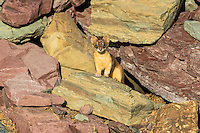 Long-tailed Weasel (Mustela frenata).  Northern Rocky Mountains.  Sept.  This weasel was hunting pika.  You can see the remains of an old pika hay pile in photo.