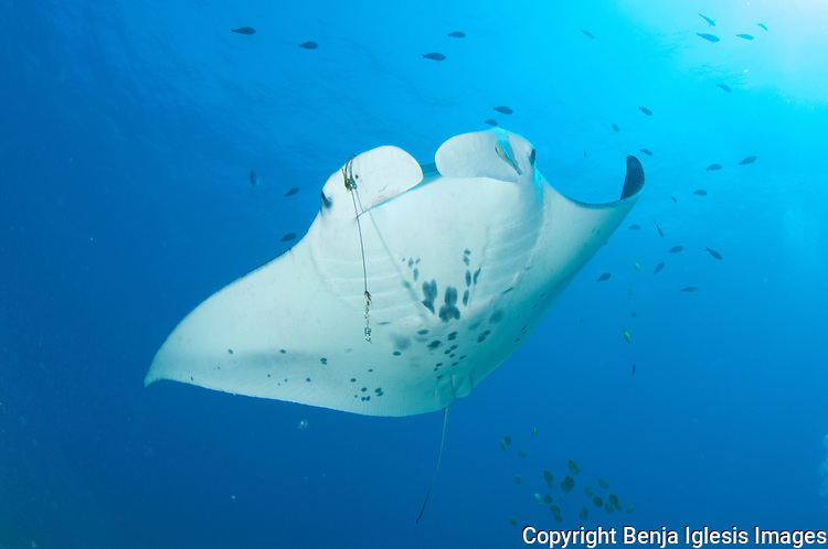 Mantaray swimming with fishing hook and line on her right cephalic fin, Maui Hawaii.