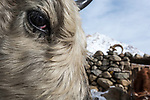 Eye of domestic yak or dzo (Bos grunniens) in Ulley village. Ulley Valley, Himalayas, Ladakh, India.